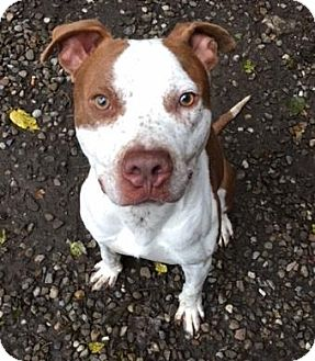 Terrier (Unknown Type, Medium)/American Pit Bull Terrier Mix Dog for adoption in Fulton, Missouri - Freckles- Ohio
