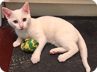Domestic Shorthair Kitten for adoption in Houston, Texas - Sweet Pea
