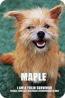 Norwich Terrier/Terrier (Unknown Type, Medium) Mix Dog for adoption in Agoura Hills, California - 'MAPLE'
