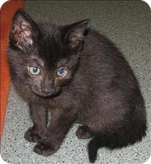 Domestic Shorthair Kitten for adoption in Duncan, British Columbia - Storm