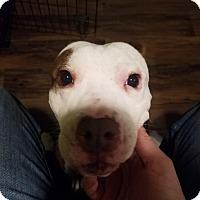 Adopt A Pet :: Remy - Villa Park, IL