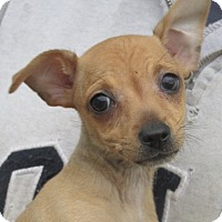 Chihuahua Puppy for adoption in Germantown, Maryland - Selena