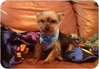 Yorkie, Yorkshire Terrier Mix Puppy for adoption in The Villages, Florida - Charlie