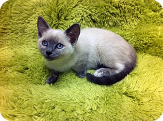 Siamese Kitten for adoption in Irvine, California - Daphne