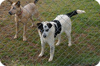 Border Collie/Australian Cattle Dog Mix Puppy for adoption in Conway, Arkansas - Casey