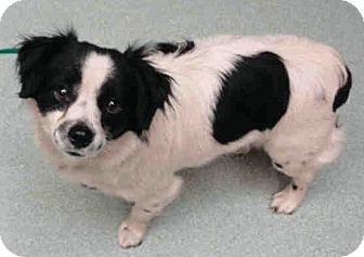 Papillon Mix Dog for adoption in Orlando, Florida - Rocky