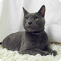 Adopt A Pet :: Mr.Gray (Gentleman) - Arlington, VA
