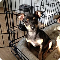 Adopt A Pet :: Delightful Doralina - Madison, NJ