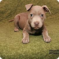 Adopt A Pet :: Adalee - Nashville, TN