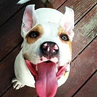 American Bulldog/American Pit Bull Terrier Mix Dog for adoption in Richmond, California - Banjo