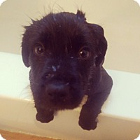 Adopt A Pet :: Cal - Winchester, VA