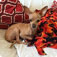 Adopt A Pet :: Pumpkin - Las Vegas, NV