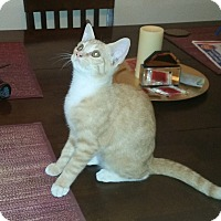Domestic Shorthair Kitten for adoption in Houston, Texas - Ivy