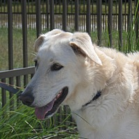 Labrador Retriever/Greyhound Mix Dog for adoption in Myakka City, Florida - Finn