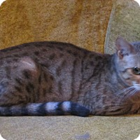 Adopt A Pet :: Jewel (pure-bred Bengal) - Witter, AR