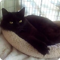 Domestic Mediumhair Cat for adoption in Alamo, California - Sweet Pea