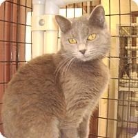 Domestic Shorthair Cat for adoption in Muscatine, Iowa - Gracie