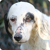 English Setter Dog for adoption in Pine Grove, Pennsylvania - SUSIE