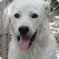 Labrador Retriever Mix Puppy for adoption in Savannah, Missouri - Luke