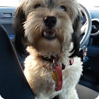 Maltese/Terrier (Unknown Type, Small) Mix Puppy for adoption in Encinitas, California - Bon Bon