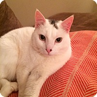 Domestic Shorthair Cat for adoption in Brooklyn, New York - Jack