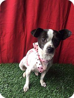 Chihuahua Mix Dog for adoption in Santa Monica, California - DAISY