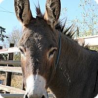 Donkey/Mule/Burro/Hinny for adoption in Phelan, California - Meenie