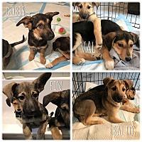 Adopt A Pet :: Ukrainian Pups! - New York, NY
