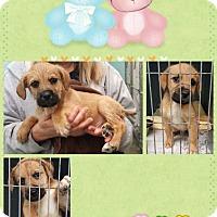 Adopt A Pet :: Louie - Orland Park, IL