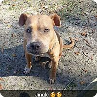 Adopt A Pet :: Jingle - New Haven, CT