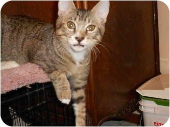 Domestic Shorthair Kitten for adoption in Orlando, Florida - Luka