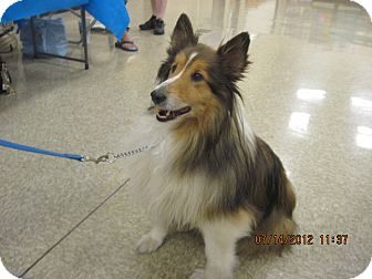 Sheltie, Shetland Sheepdog Dog for adoption in apache junction, Arizona - Duncan