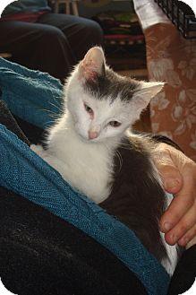 Domestic Shorthair Kitten for adoption in Brooklyn, New York - Zazu