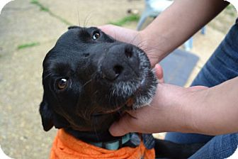 Labrador Retriever/Terrier (Unknown Type, Medium) Mix Puppy for adoption in Marietta, Georgia - Aiden