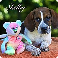 Adopt A Pet :: Shelby - Albany, NY