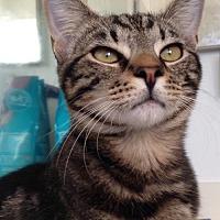 Domestic Shorthair Cat for adoption in Miami, Florida - Jasmine