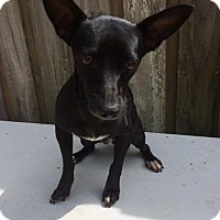 Adopt A Pet :: Dash - Palmetto Bay, FL