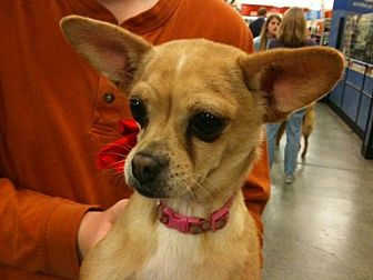 Chihuahua/Corgi Mix Dog for adoption in Fresno, California - Whisky Lou