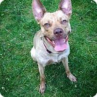 Adopt A Pet :: Stella - Laval, QC