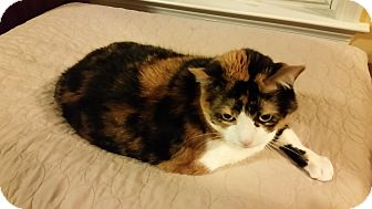 Domestic Shorthair Cat for adoption in Carlisle, Pennsylvania - MollyCP