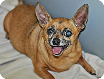 Chihuahua Dog for adoption in Spring Lake, New Jersey - Dottie