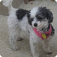 Adopt A Pet :: Oliver - North Olmsted, OH