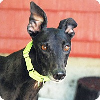 Adopt A Pet :: Oshie - Ware, MA