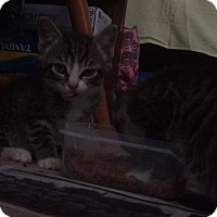 American Shorthair Kitten for adoption in Plymouth, North Carolina - Milo