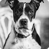 Adopt A Pet :: Sasha - Portland, OR