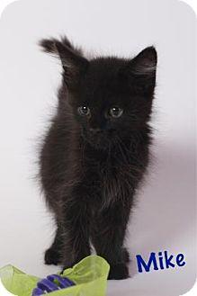 Domestic Mediumhair Kitten for adoption in Baton Rouge, Louisiana - Mike