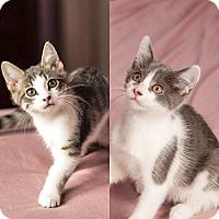Adopt A Pet :: Mobaby & Magoo, Magnificent Bonded Babies - Brooklyn, NY