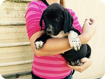 Labrador Retriever/Labrador Retriever Mix Puppy for adoption in Waldron, Arkansas - SELENA BABY BARKLEY
