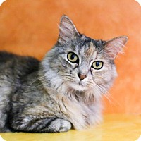 Domestic Mediumhair Cat for adoption in Austin, Texas - Sophie