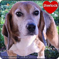 Adopt A Pet :: Sherlock - South Plainfield, NJ